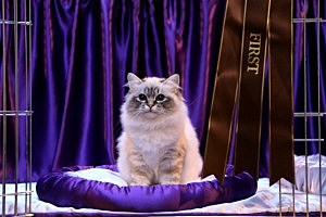 Owners And Pets Participate In The Supreme Cat Show