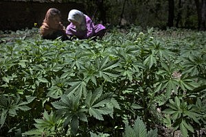 Afghan Cannabis Farmers See Crop Prices Rise
