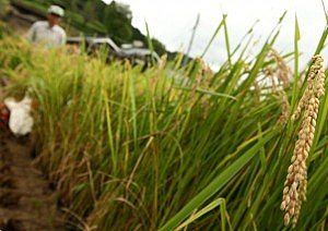 Rice Harvested At Terrace Paddy In Hyogo