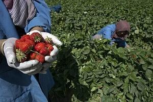 Afghans Harvest Profit from Badam Bagh Farm