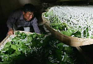 Chinese Sericiculturists In Yunnan Province
