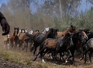 Wild Horses Are Tamed At Rapa Das Bestas