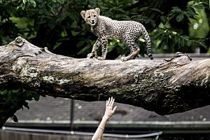 Three Month Old Cheetah Cubs Make Their Debut At Washington's Smithsonian Zoo