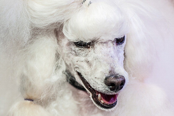 Owners Show Their Dogs In The World Team Dog Grooming Championships
