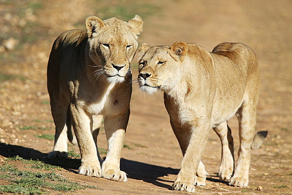 Lion Cubs Debut At Monarto Zoo