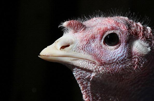 Turkeys Roam On California Farm Ahead Of The Holiday Season