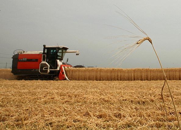 Wheat Harvesting Season Begins In Japan
