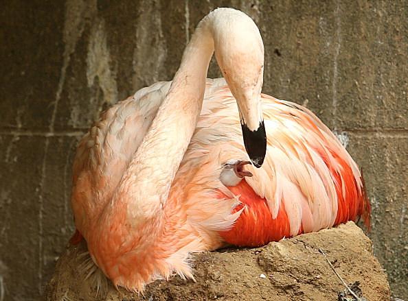 Baby Flamingo Born In Himeji Central Park